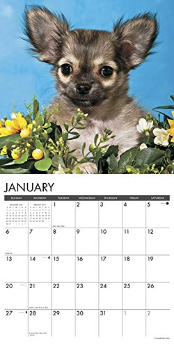 Just Chihuahua Puppies 2019 Wall Calendar (Dog Breed Calendar)