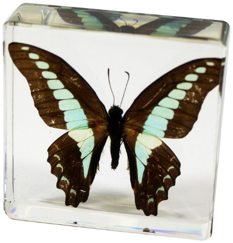 REALBUG Common Blue Bottle Butterfly Paperweight(3 x 3 x 1)