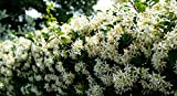 NurseryNature Jasmine Mogra Fragrant Climber Plant Please Check Seller Name to be NurseryNature all other sellers are fake