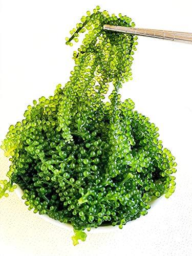 CAVUMI Sea Grapes, einzigartige Algen, Umibudo, Grüne Kaviar, Meerestraube erhältlich 20g dehydriert, ergibt ca. 100g Salat