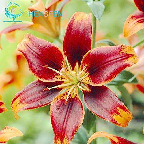 Green Seeds Co. 50 Pcs/Sac Plantes En Pot Lily plantes rares Plantes D'Intérieur Bonsaï Diy plante Semillas Mixed Colors emballage 2016: Gris Clair