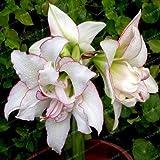 I veri Amaryllis lampadine (non Hippeastrum Seeds) Bella Bonsai Bulbi da fiore in vaso Barbados Lily giardino della casa Pianta -2 Bulbo 2