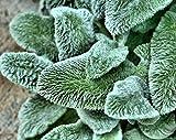 Las Semillas de germinación: 400 Semillas: Trident Arce, Acer buergerianum, Semillas de árboles (Color de la caída, Hardy, Bonsai)