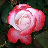 Edelrose Nostalgie® - Stark duftende Rose mit zweifarbiger Rosenblüte in rot & creme-weiß - Winterharte nostalgische Edelrose im 5 Liter Container von Garten Schlüter - Pflanzen in Top Qualität