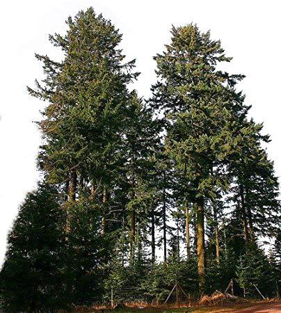 120 Samen Gewöhnliche Douglasie (Pseudotsuga menziesii) *Größtes Exemplar war 133 Meter hoch*
