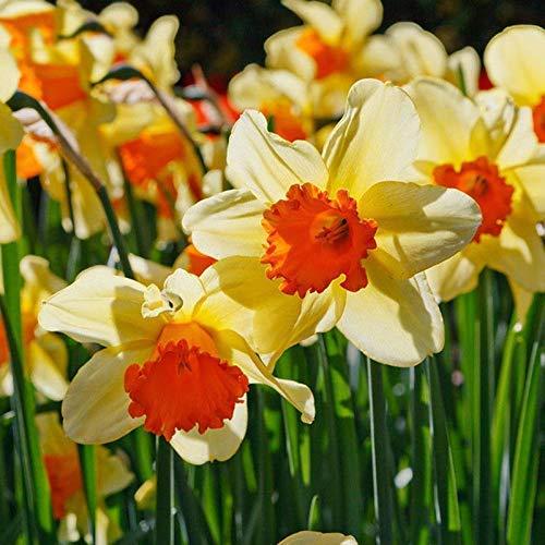 Portal Cool 400X Mixta narciso doble del narciso Bulbos Duo semillas de plantas de flores de primavera Decorra