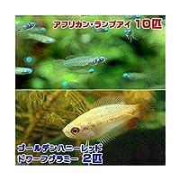 (熱帯魚)アフリカン・ランプアイ(10匹) + ゴールデンハニーレッド・ドワーフグラミー(2匹) 北海道航空便要保温