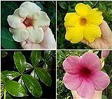 種:UNCLE CHAN * 3本の挿し木アラマンダ紫黄桃各5