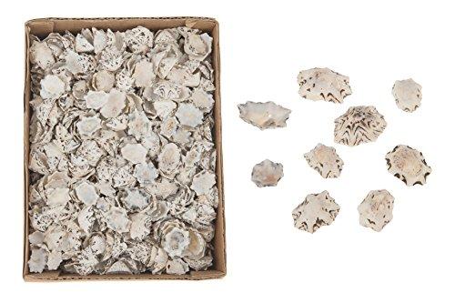 CF-NatureCraft Patella saccharina 1-2 cm 1000g Natur kleine Napfschnecke Gehäuse Seesterne Aquarium Deko