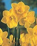 50 Narzissen mehrblütig Quail Blumenzwiebeln Narcissus