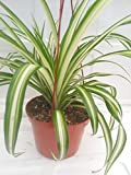 Ocean Spider Plant Easy to Grow Cleans the Air NEW 6' Hanging Basket From Jm Bamboo