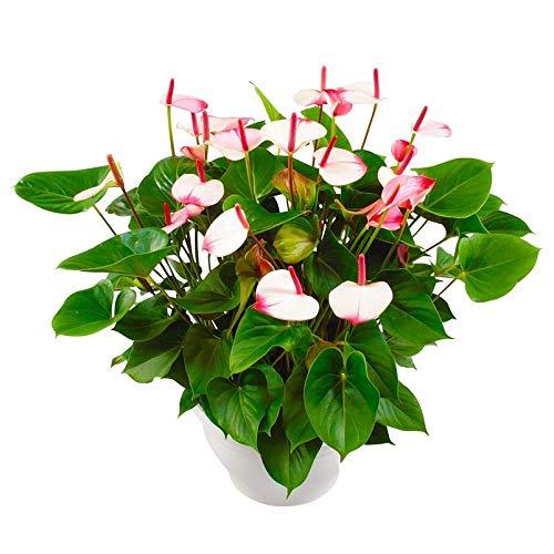 Pflanzen Kölle Flamingoblume, Anthurium andreanum 'Princess Amalia Elegance', Topf 30 cm, Höhe ca. 65 cm