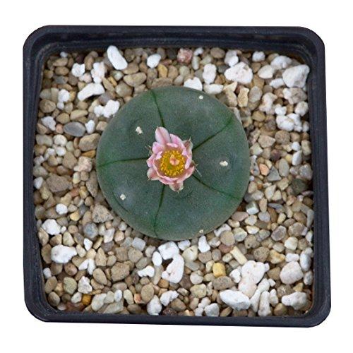 Lophophora williamsii Peyote ab 3cm