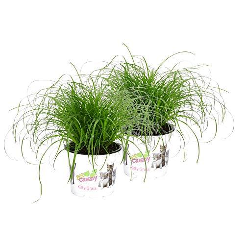 "Cyperus alternifolius""Zumula"" | Katzengras fertig gewachsen | Cyperus Zumula | Katzengras Pflanze im Topf | Höhe 20-25cm | Topf-Ø 12cm"