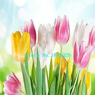 Pinkdose GGG Bulbos del tulipán del envío el 100% Semillas genuino flor del tulipán bombillas (no las semillas de tulipán) - 500 PC: Amarillo