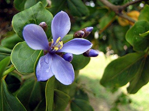 Spécial Guaiacum officinale - Lignum Vitae - Graines rares arbres plantes tropicales (10)