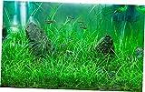 Aquarium Plants Echinodorus Tenellus Clump Pigmy Chain Sword Live Aquarium Plants