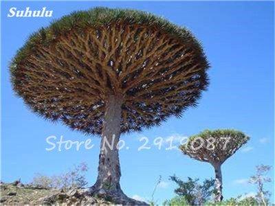 Livraison gratuite 10 Pcs rares Dracaena arbre alpiste Tree Island Sang (Dracaena draco) voyantes, Jardin des plantes exotiques 19 Diy