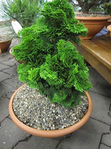 Chamaecyparis obtusa Nana Gracilis - Zwergform der Muschelzypresse auch Hinoki-Scheinzypresse