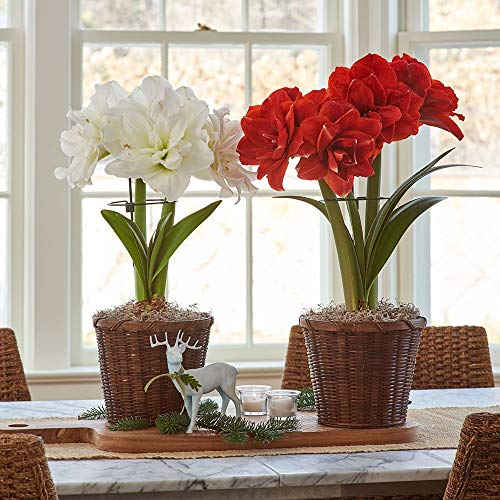 Amaryllis Bulbs,Can Be Given to Friends,Many Colors,Make People Happy,Decorated Balcony,Garden Plants,World-Famous-8 Bulbs,Red