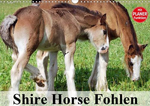 Shire Horse Fohlen (Wandkalender 2021 DIN A3 quer)