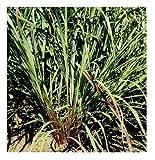 David's Garden Seeds Herb Lemon Grass KJ9136 (Green) 25 Non-GMO, Open Pollinated Seeds...