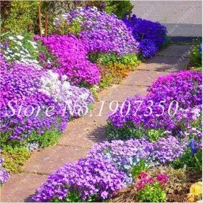 Generic Fresh 200 Pcs Rock Cress Blumensamen zum Pflanzen von Violet 2
