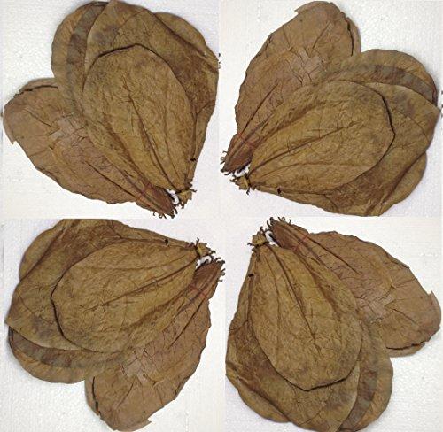 garnelenshop24de ~ 50 Stück XL (=100Gramm/ca.20cm) Seemandelbaumblätter original A-Markenware von SMJS-Cambodia +++BLITZVERSAND+++ Seemandellaub Catappa Leaves
