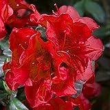 Encore Azalea EA-541 Autumn Fire, 1 Gal, Red Blooming Evergreen Dwarf Shrub
