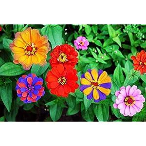 Rare 1000 Pcs Mixed Zinnia – California Giant Flower Seeds Bonsai Decoration-Non GMO