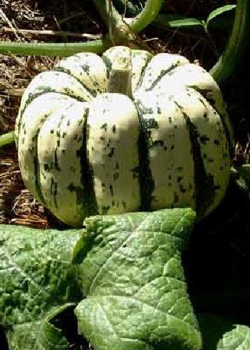 Tropica - Gemüse - Kürbis - Sweet Dumpling (Cucurbita maxima) - 15 Samen