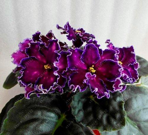 (100pcs Seeds) 100 pcs/Bag African Violet Seeds, Bonsai Flower Seeds for Home Garden Plant Perennial Herb high Budding Garden Flowers Seeds 18