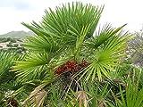 Fan européenne Palm, Chamaerops Humilis, Arbre 20 graines (rapide, Hardy)
