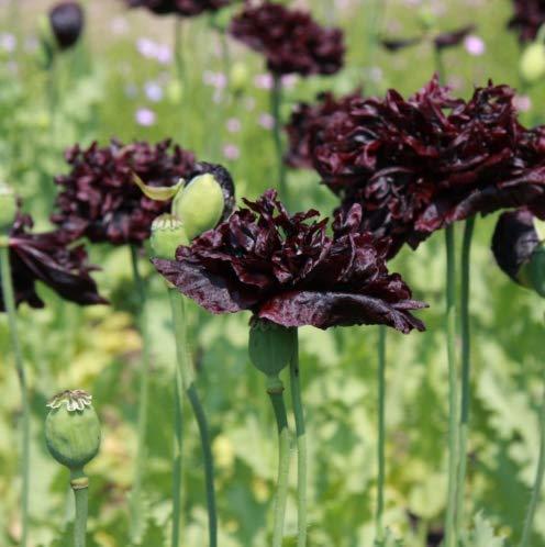 Qulista Samenhaus - 50pcs Rarität Schlafmohn 'Black Paeony' Bio-Samen bienenfreundlich, schwarz Blumensamen winterhart mehrjährig