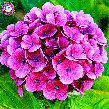 10pcs/pack Red Hydrangea planter des graines Mélangé Hydrangea Fleurs Accueil plantes graines de fleurs Bonsai Viburnum pour le jardin de la maison 3