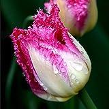 Grandes bulbos de tulipán de doble pétalo importados de los Países Bajos cultivo de suelo hidropónico resistente jacinto en maceta de flores bulbosas 300-Auxerre_11-12CM