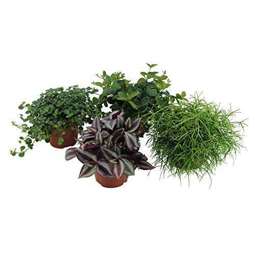 4x Mix Hängepflanzen | Peperomia angulata, Pilea depressa, Tradescantia zebrina, Rhipsalis cashero | Kleine grüne Zimmerpflanzen | Höhe 15-25cm | Topf Ø 12cm