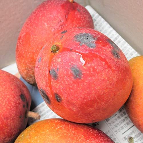 マンゴーを凝縮した味わい 沖縄マンゴー2kg 訳あり品