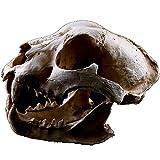 ZHZX Hyäne-Tierschädel-Dekoration, haltbare realistische handgefertigte Kunstharz-Skulptur, Tierskelett-Fotografie-Requisiten, Hauptverzierung -
