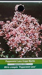 Peppermint Lace Crape Myrtle 5 gal Tree Flower Plants Plant Garden Healthy Trees