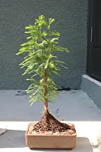 M&M BONSAI BALD CYPRESS TREE