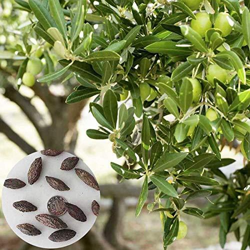 Semillas Olivo, 1 Semillas Bolsa de oliva árbol rústico Semillas simbólicos nutritivos planta sana de Inicio