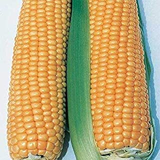Illini Xtra Sweet Hybrid F1 Corn Seeds - superb sweetness and good corn flavor!(100 - Seeds)