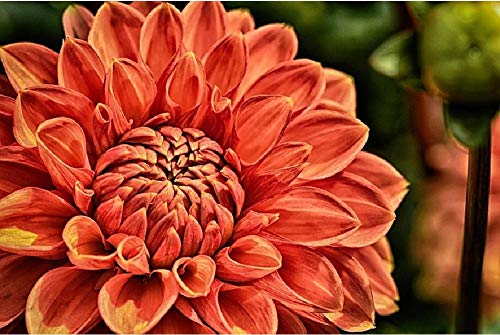 nobrand DIY Steuern Dekor Digitalen Leinwand Ölgemälde Von Nummer Kits - Dahlie Pflanze Blume Blüte Blüte