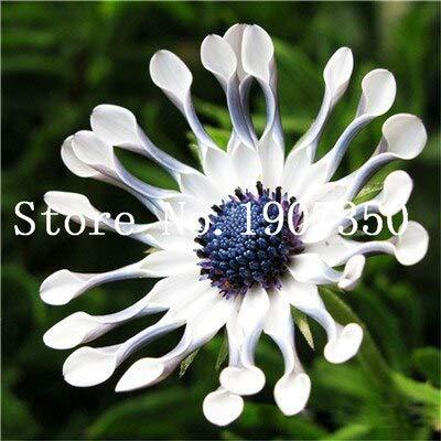 Kalash Neue 100 PC Daisy Osteospermum Blumensamen für Garten Weiß 1