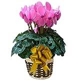 パステル シューベルト さかもと園芸 達人 シクラメン 花鉢植え ギフト プレゼント 贈答品 クリスマス お歳暮