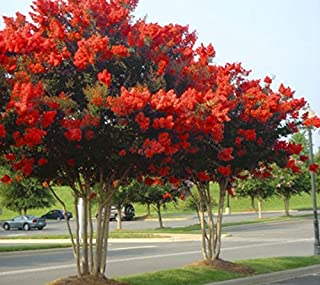 New Life Nursery & Garden- - Red Rocket Crape Myrtle Tree