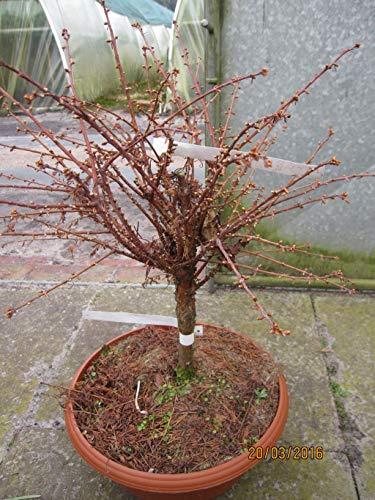 Zwerg-Mammutbaum Nordlicht - Metasequioa glyptostroboides Northlight