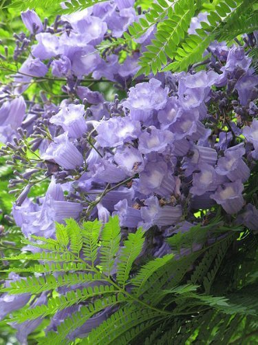 50 BLUE Jacarandabaum (Fern Tree/brasilianische Rose Wood/Grün Ebony) Palisanderholzbaum Seeds