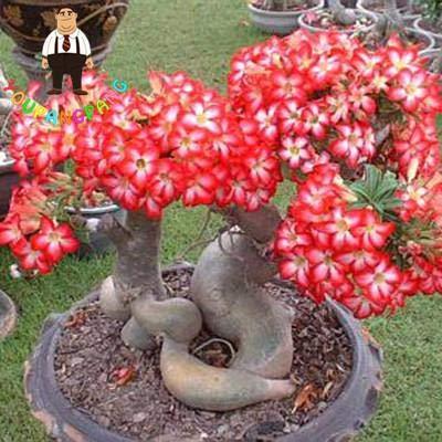 Generic Fresh 2 Pcs Adenium Blumensamen zum Pflanzen gemischt 1